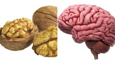 walnuts look like the human brain